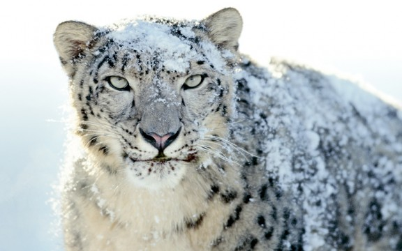 Snow Leopards can have a future in Afghanistan