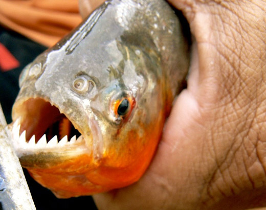 China declares war on piranhas after residents were for Pictures of piranha fish