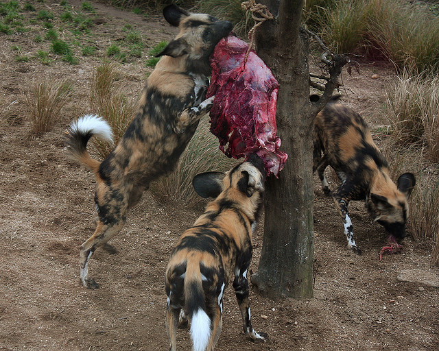 Horrible Zoo Accident : Child Mauled In African Wild (Painted) Dog Exhibit at Pittsburgh Zoo